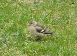Chilled-out Chaffinch