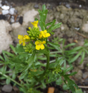 American Winter Cress