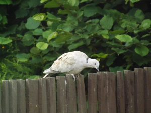 Juvenile Collared Dove