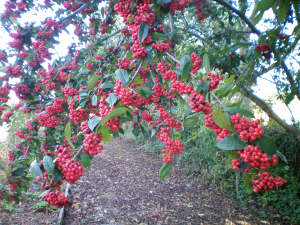 berries but what tree do they grow on