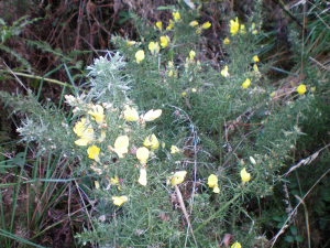 how can you tell if western or european gorse