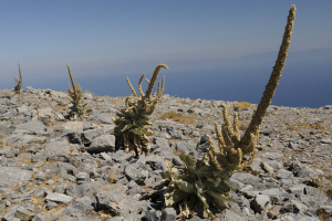 Verbascum on Samos mountaintop