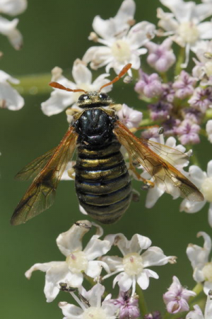 Club-horned sawfly