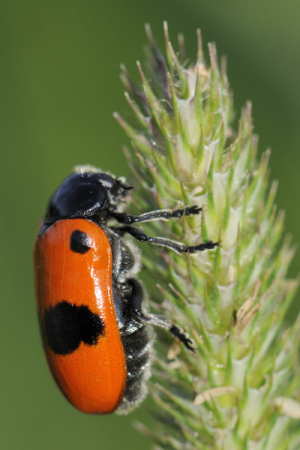Colourful leaf beetle from Slovenia