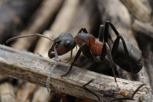 Slovenian meadow ants