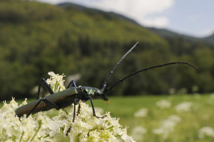 Musk beetle on umbel, Slovenia.