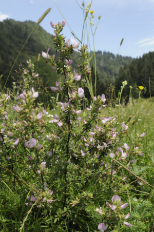 Spiny Restharrow in Slovenia