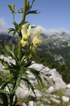 Wolfsbane in Slovenian Alps