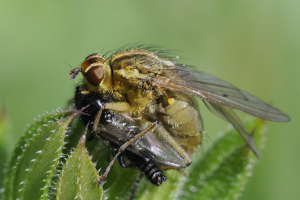 Dung fly predates March fly