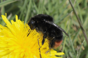Red-tailed bumblebee feeds