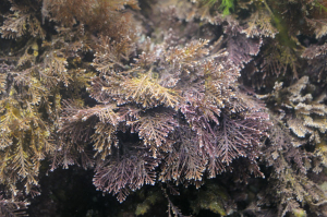 Coral weed growing in rockpool.