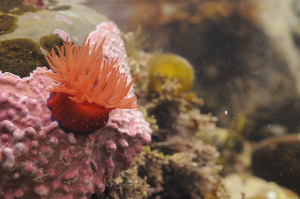 Beadlet anemone attached to a coralline alga