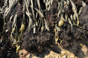 Epiphytic red alga on Knotted wrack
