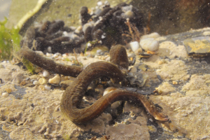 2 metre long predatory worm in Cornish rockpool