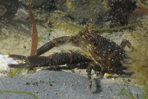 Squat lobster in rockpool