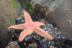 Sand star in pool at edge of sandy shore