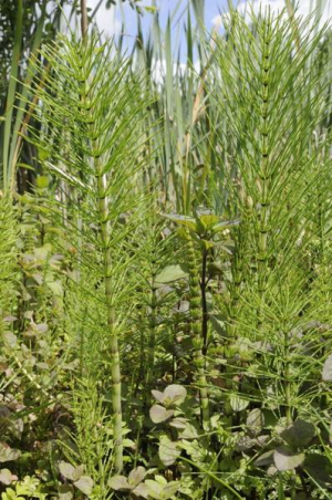 Which horsetail?