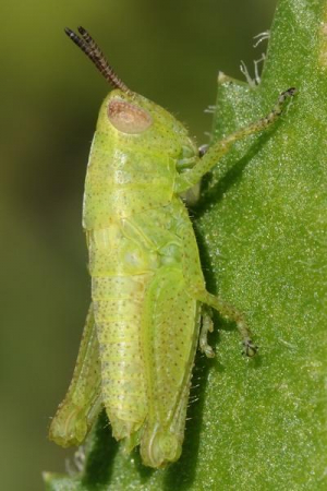 Portuguese Green spotted grasshopper nymph