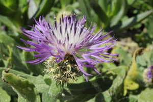 Low growing spiny knapweed from Portugal