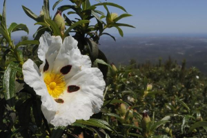 Gum rockrose in the Algarve