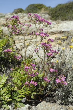 Common centaury on Portuguese cliff top