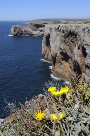 Rock marigolds on Portuguese clifftop