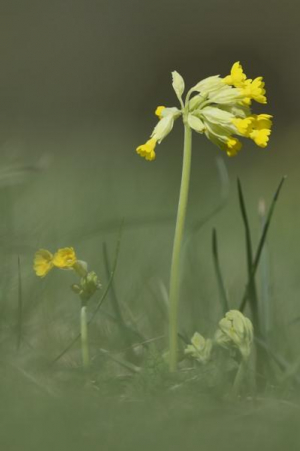Cowslips  - at last!