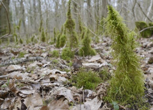 Common feather-moss forest