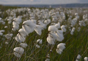 Cottongrass in Wales
