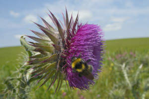 Musk/Nodding thistle