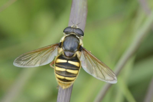 Big hoverfly