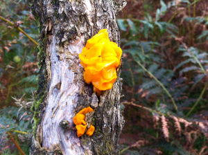 Yellow Brain Fungus on a Gorse Bush