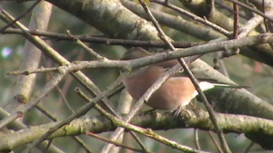 Chaffinch playing hide and seek