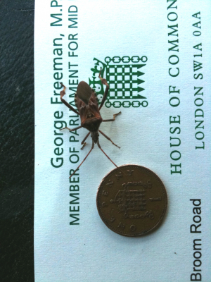 Western Conifer Seed Bug- Latest office pet