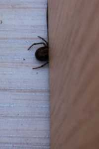 Black shinyish spider with red markings on top. Not seen one of these before!   Any ideas?