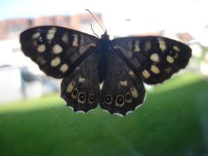 speckled wood butterfly?