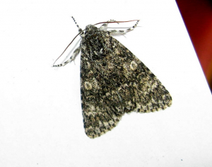 Is this a Straw Underwing