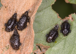 Black Grubs needing ID