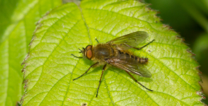 Unknown fly sp.