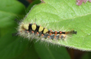Yellow Spot Fluffy Caterpillar
