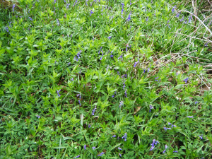 Dog's Mercury & Bluebells