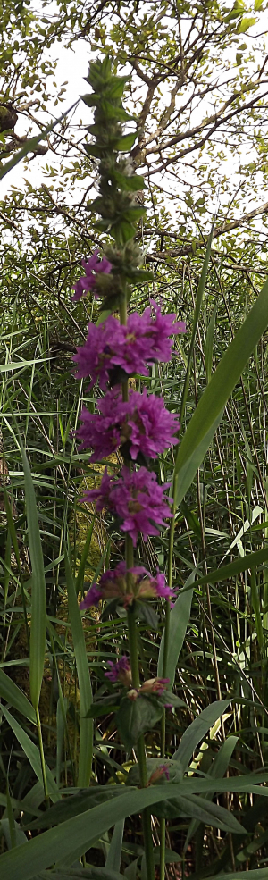 Purple - loosestrife