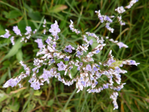 Common Sea lavender
