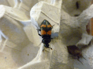 Common Sexton Beetle