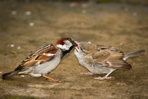 House Sparrow and brood