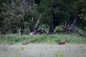 Roe Deer Doe and Fawns