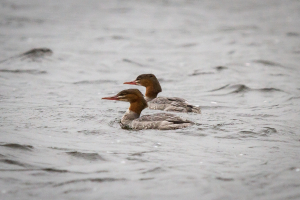 Goosanders on the Lake of Menteith