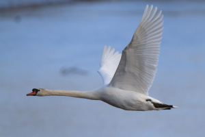 Mute Swan on the Forth