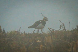 Lapwing in the Mist, Rutland Water