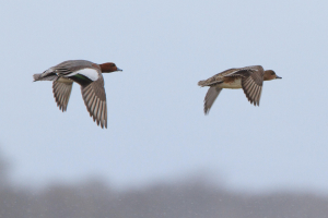 Wigeons in flight